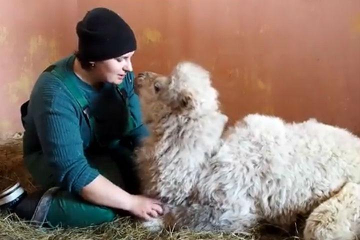 Убелых верблюдов в«Роевом Ручье» Красноярска родилась девочка