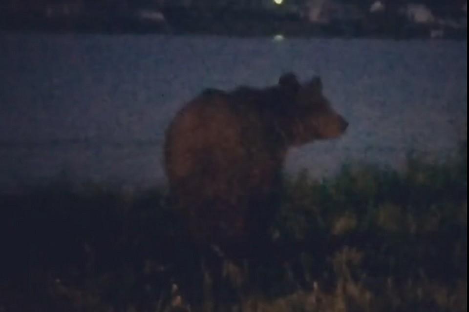 Кузбассовец покормил сруки дикого медведя шаурмой ишоколадкой