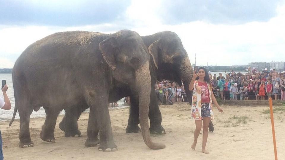 Индийские слоны отдохнули на«Путинском» береге иискупались вСмолино
