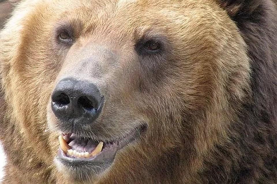 ВКрасноярском крае убили медведя, растерзавшего мужчину