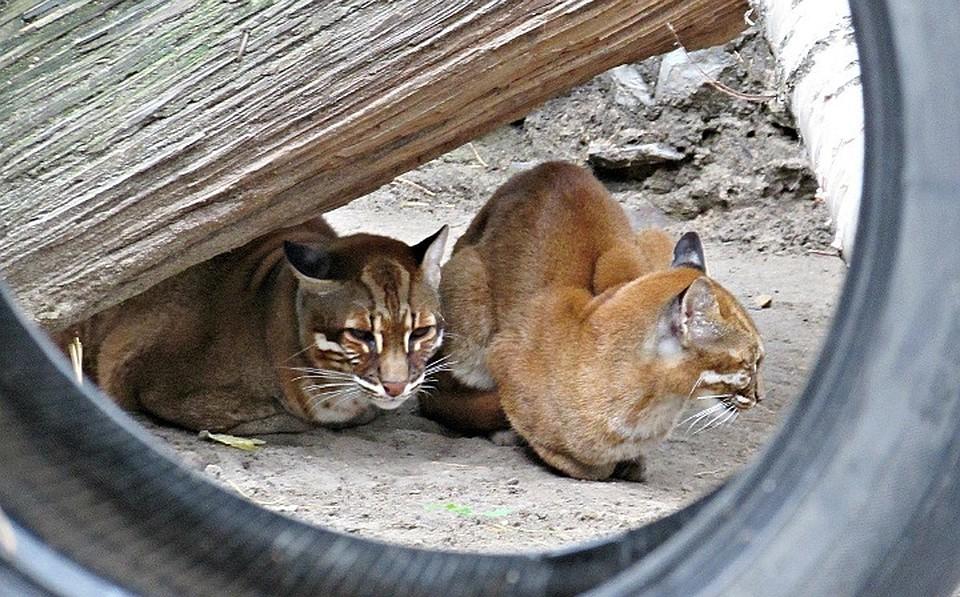 ВНовосибирском зоопарке возникла пара уникальных золотистых кошек