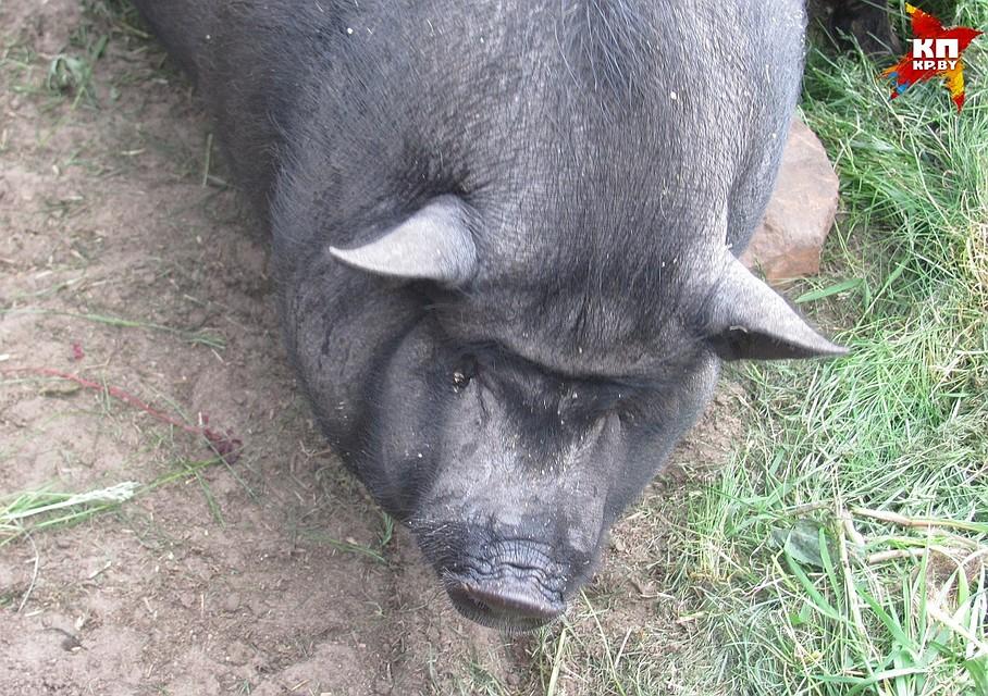 Африканская чума свиней не опасна для людей но животные от вируса заражаются и умирают десятками