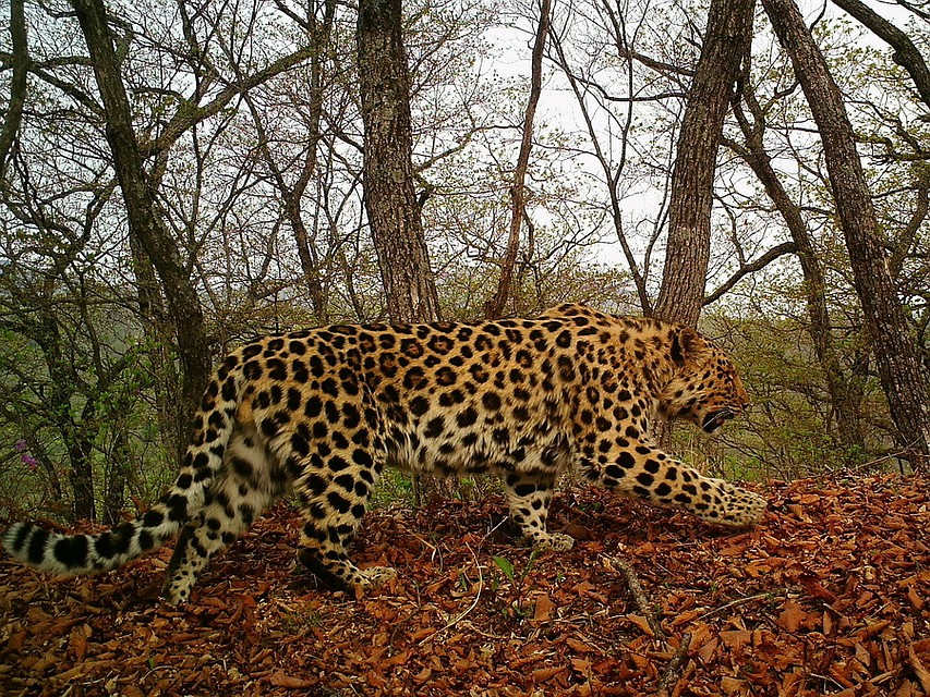 Cразу четыре вида кошек зафиксировано наодной тропе «Земли леопарда»