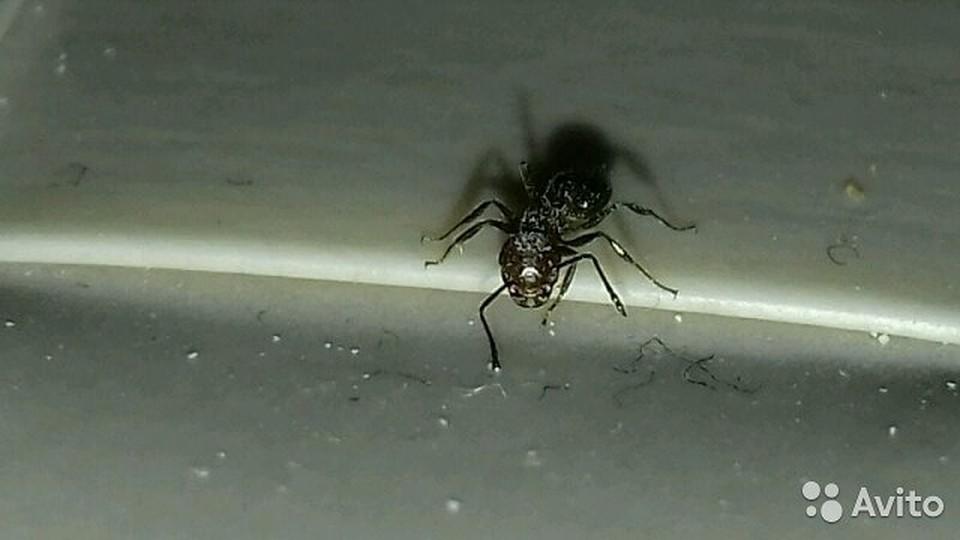 Живой продукт. гражданин Ростова выставил на реализацию ручного муравья