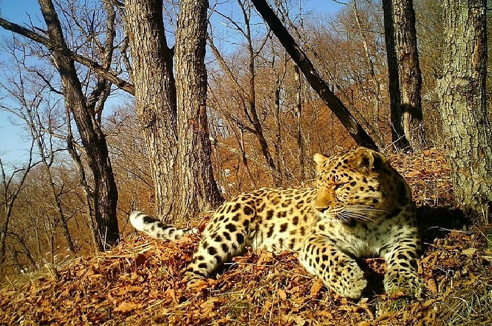 Дальневосточный леопард впервый раз «спел» накамеру взаповеднике
