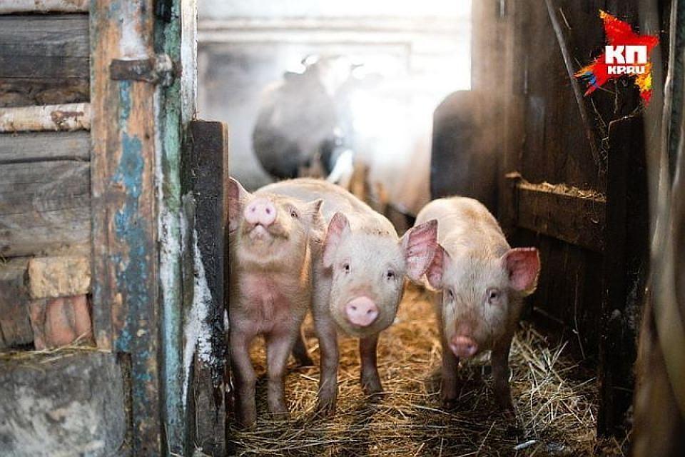 Вспышка АЧС выявлена наферме кубанского свинокомплекса
