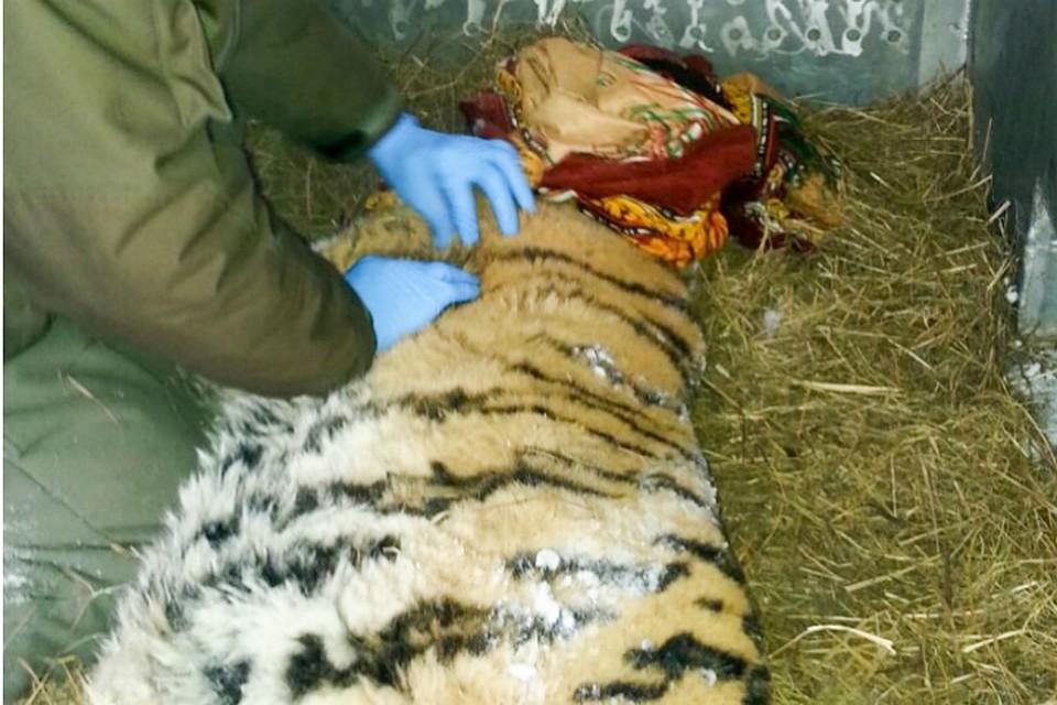 ВХабаровском крае амурская тигрица пришла клюдям запомощью