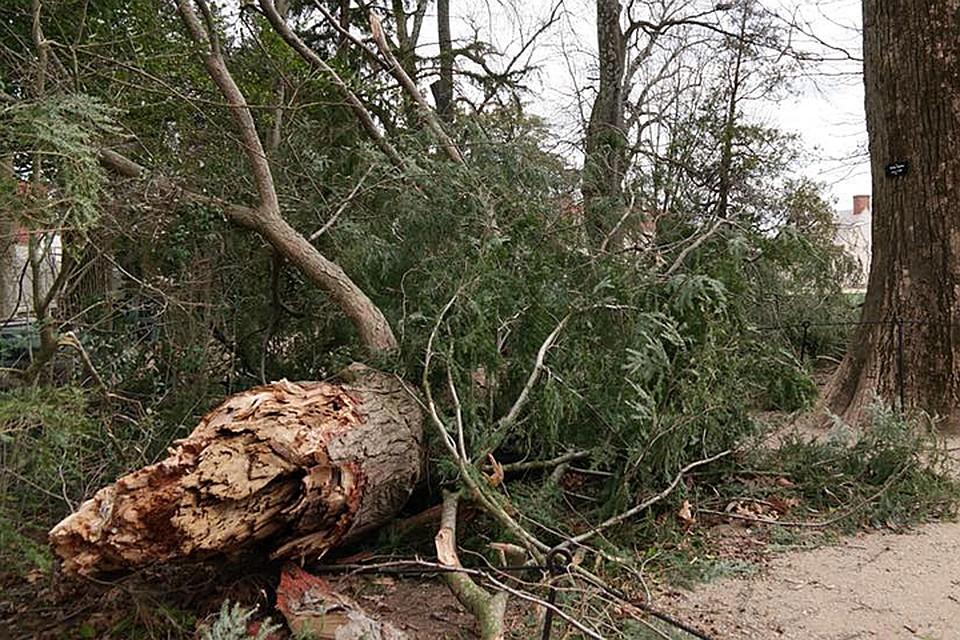 ВСША ветер свалил дерево, посаженное Джорджем Вашингтоном