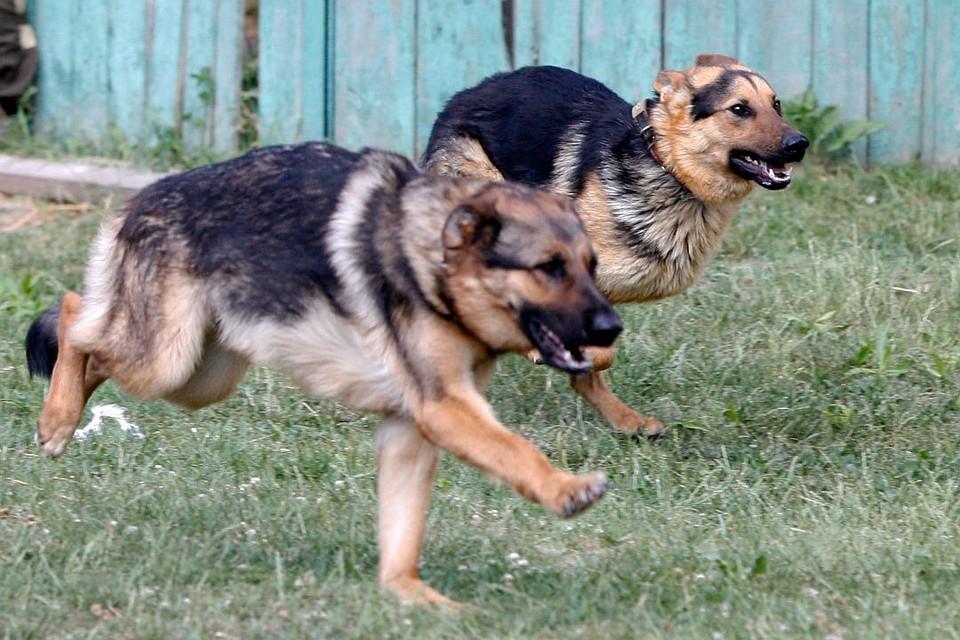 ВКБР стая бродячих собак загрызла 3-х летнего ребенка