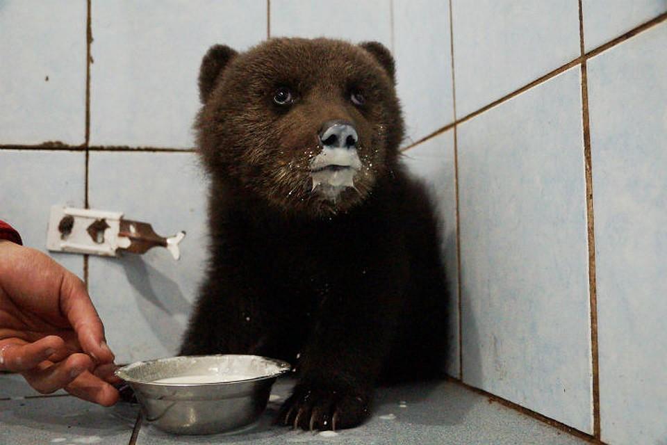 ВЛенобласти отыскали испасают раненного вживот медвежонка