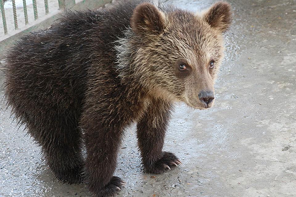Медведь забрался вмашину, несмог выбраться иначал сигналить