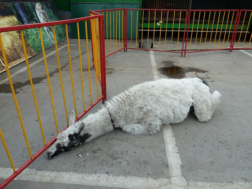 Передвижной зоопарк вПесочне продолжит работу после проверки прокуратуры