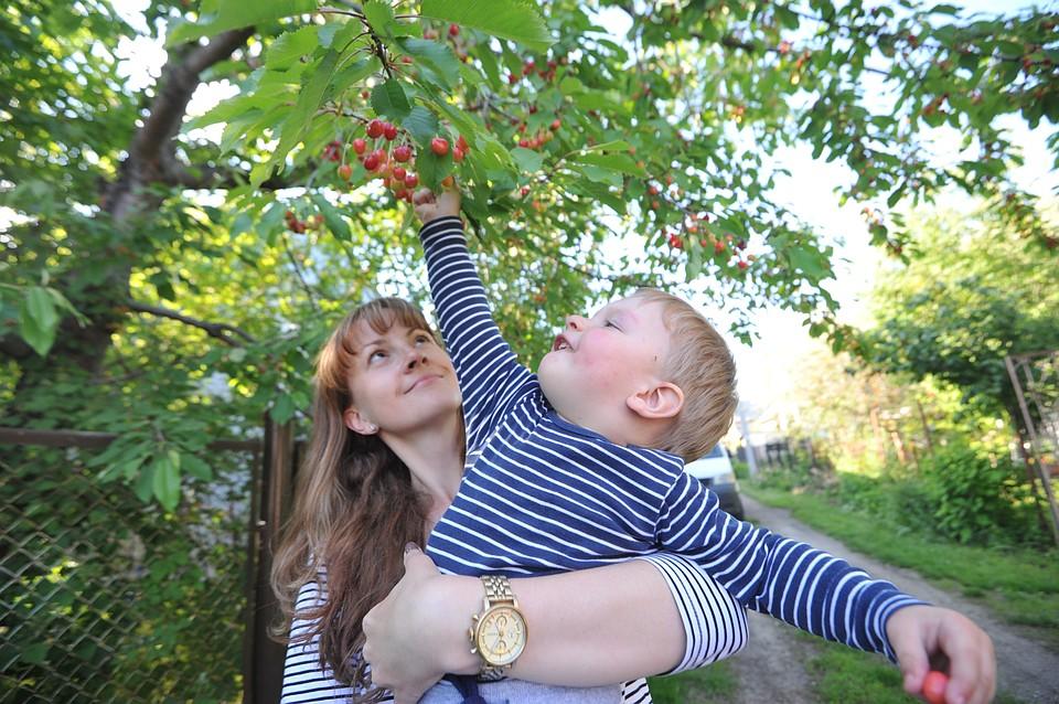 Крупнейший вкрае черешневый парк заложат вИпатовском округе