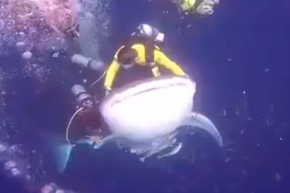 Дайвер «оседлал» акулу ипопал зарешетку