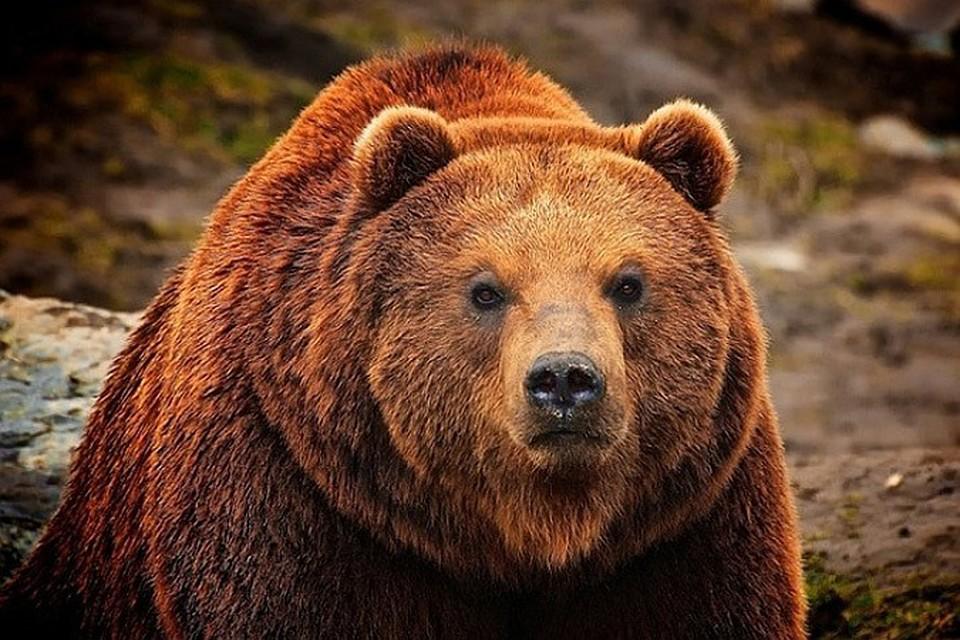 Гороскоп все о медведях