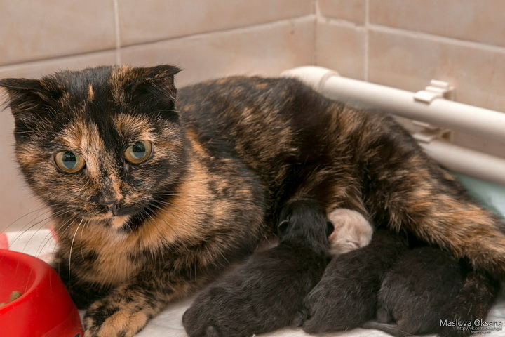 Беременная кошка сама пришла рожать в поликлинику Новосибирска