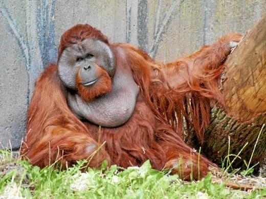 Орангутана изДании привезли вКалининградский зоопарк для создания семьи