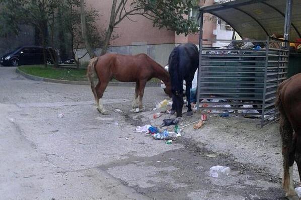 ВСочи голодные лошади искали еду вмусорных баках