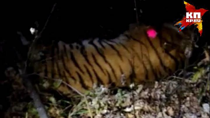 ВоВладивостоке словили гулявшего поулицам тигра