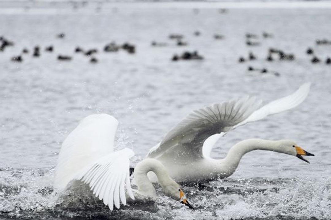 Лебеди прилетели зимовать нанезамерзающее озеро вАлтайском крае