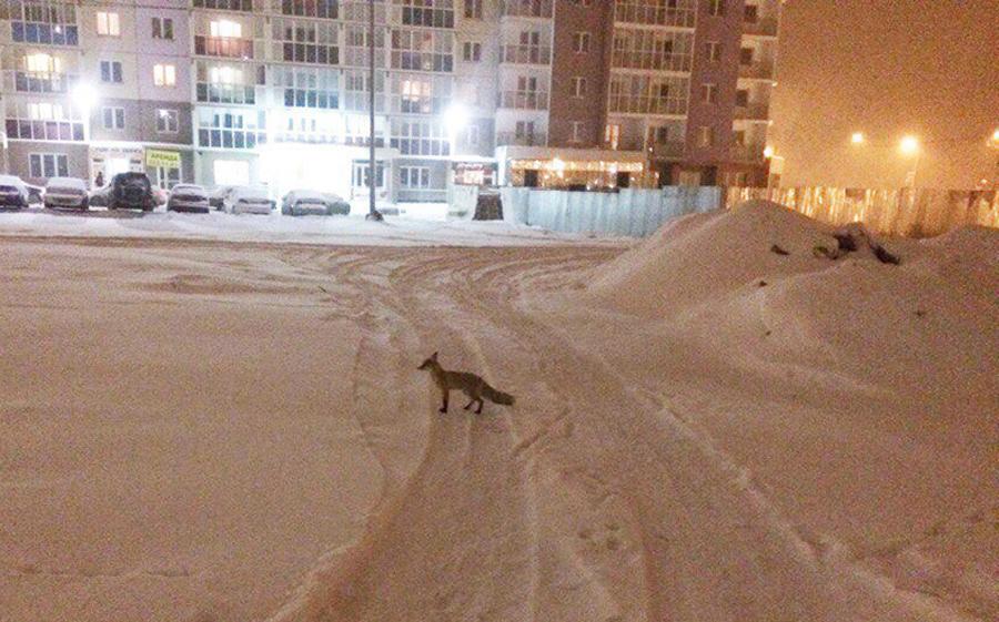 Насеверо-западе Челябинска бегает бешеная лиса