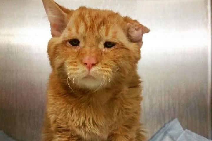 Раненого, с переломанным позвоночником и с рваными ранами рыжего кота привезли в клинику случайные прохожие