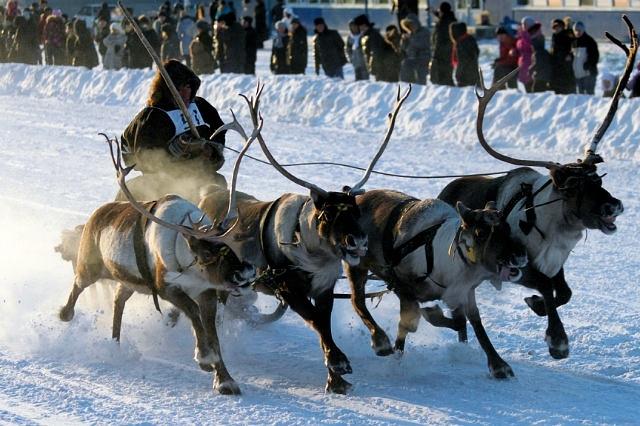 В Воркуте сновь промчатся на оленях по центральным улицам города. Фото alloteli.ru