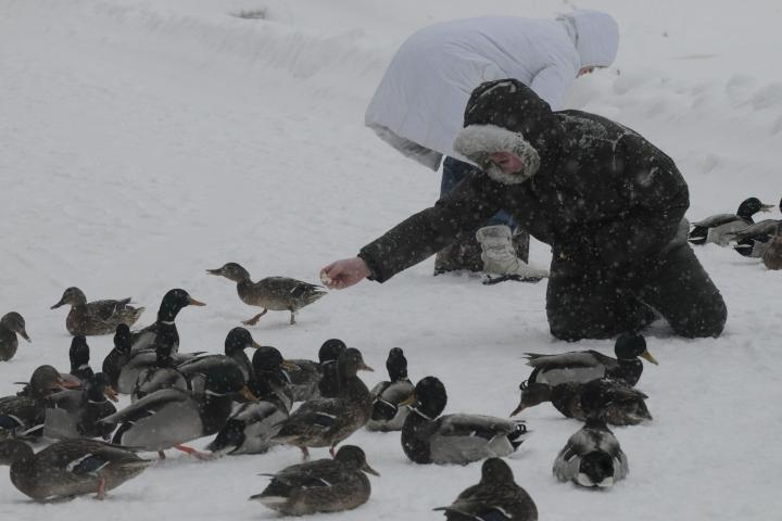 Нужна ли зимующим в Перми уткам помощь людей?