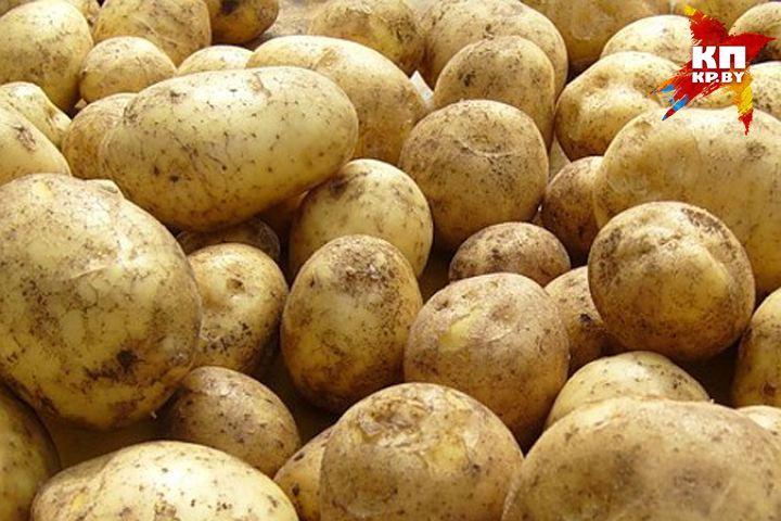 В Червенском районе забыли убрать с полей больше 700 тонн картошки