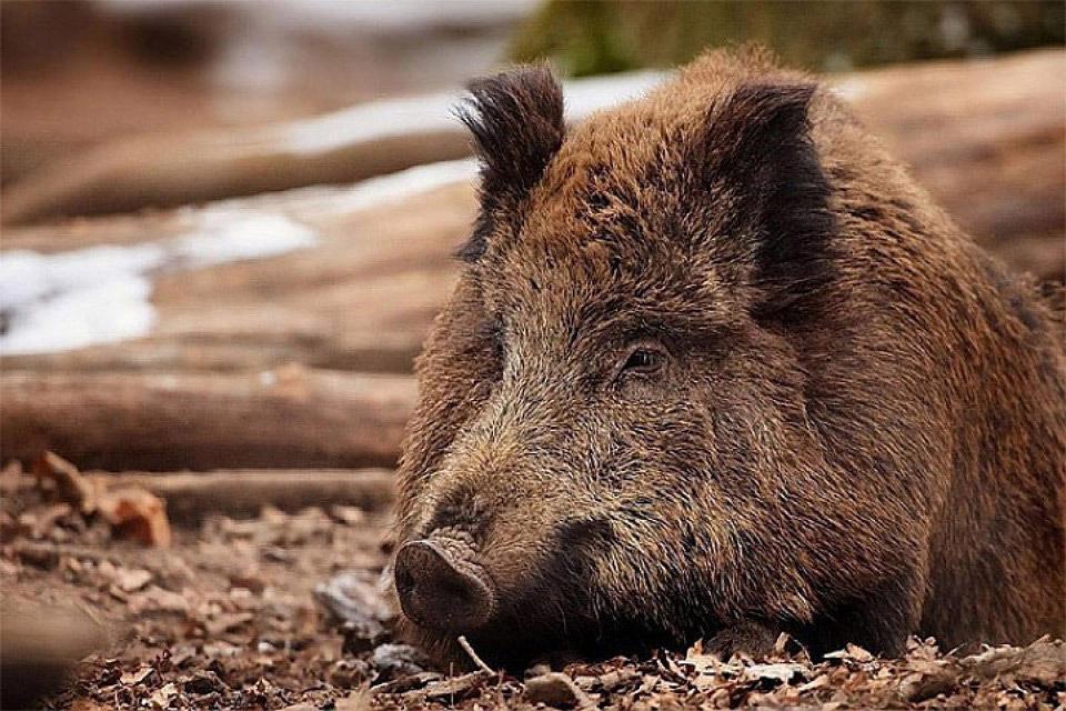 Африканская чума свиней распространилась по всей материковой части Эстонии. Фото: с сайта agrobk.ru