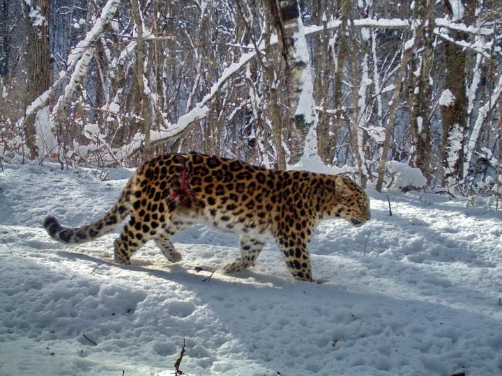 Смертельно раненая самка дальневосточного леопарда смогла выжить в приморской тайге