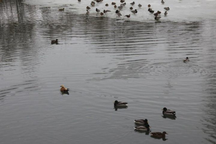 Казанцев призывают подкармливать зимующих вгороде уток-крякв
