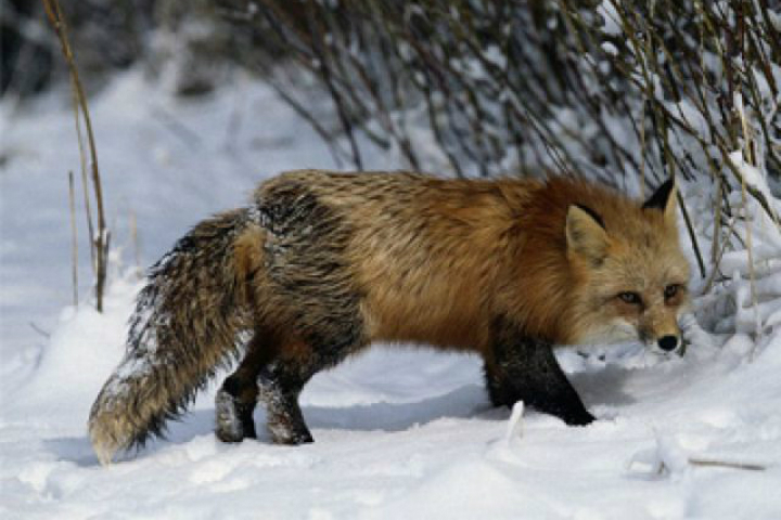Врайоне слободы Дымково бешеная лиса напала наребенка