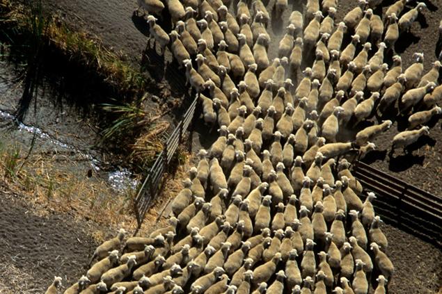 Толпа и стадо пробуждают у людей и животных одинаковые инститнкты