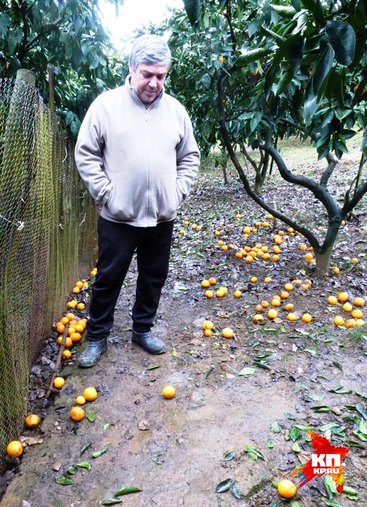 Даже в пригородах Сухума всюду мандарин пропадает. Фото: Николай ВАРСЕГОВ