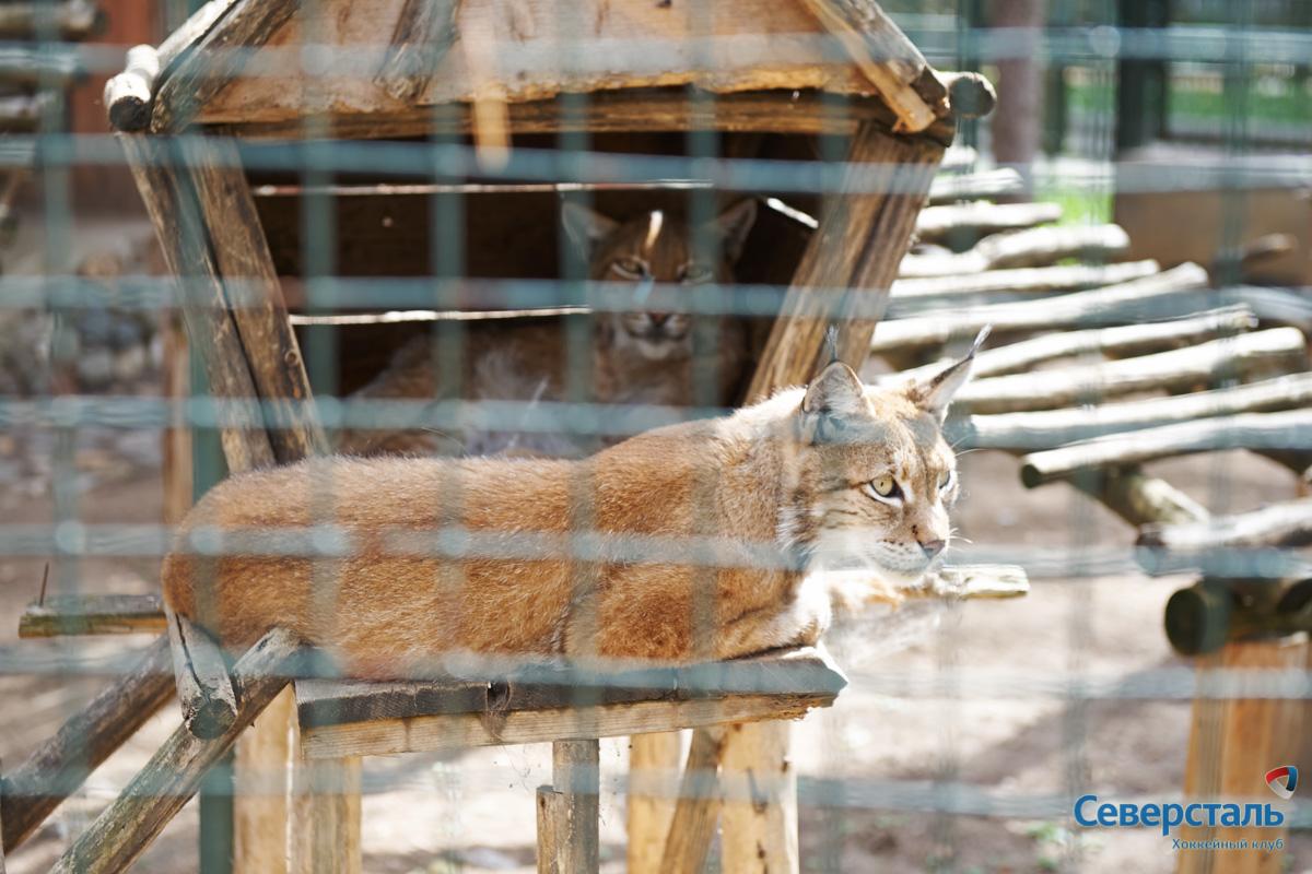 """Родители Севы - красивые рыси Пушинка и Пушок. Фото: официальный сайт ХК """"Северсталь"""""""