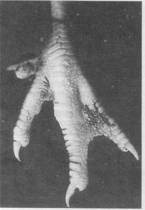 На лапках кур после телепортации генетической информации уток стали расти перепонки