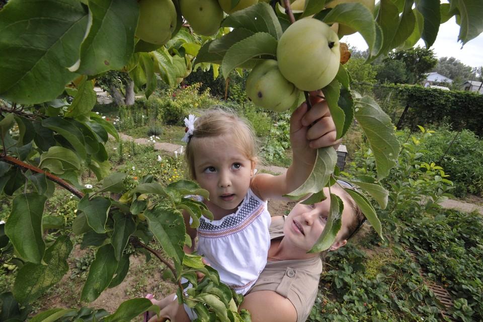 Обильные дожди пришлись по вкусу яблоням.