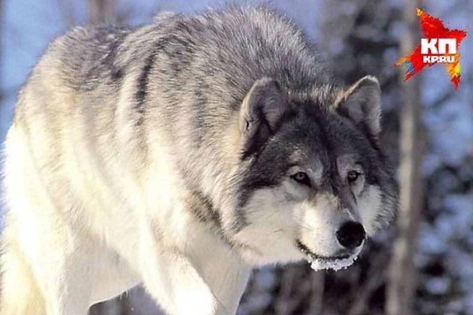 В Брагинском районе волк напал на жителей поселка