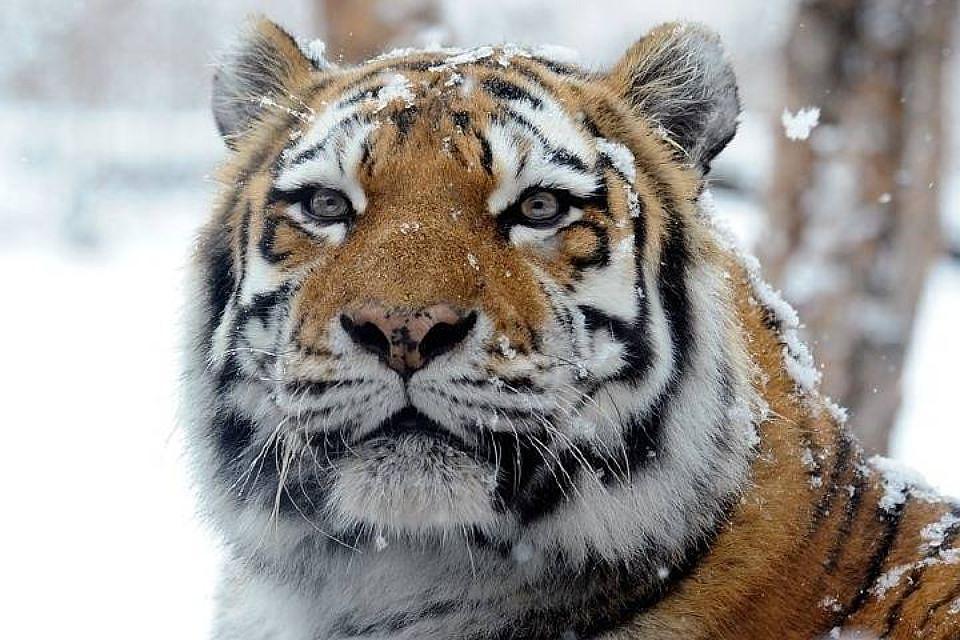 Открытки, картинки табличка с названием тигр его кличка и родина