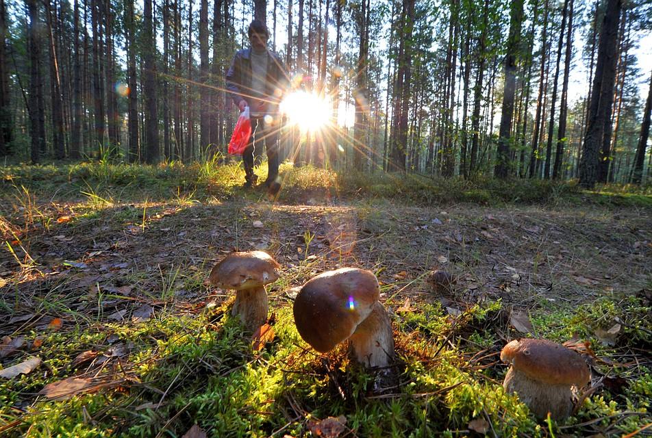 Начался сезон грибной охоты, пик которого придется на конец лета.