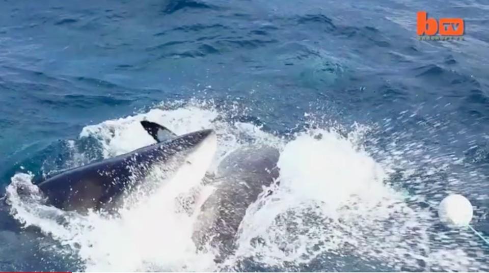Одна акула напала на другую и откусила от нее кусок