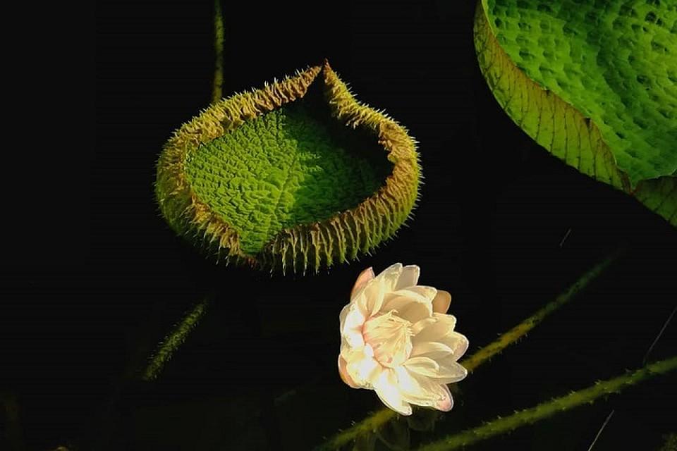 В Петербургском ботаническом саду цветет Виктория амазонская. Фото: vk.com/botsad_spb