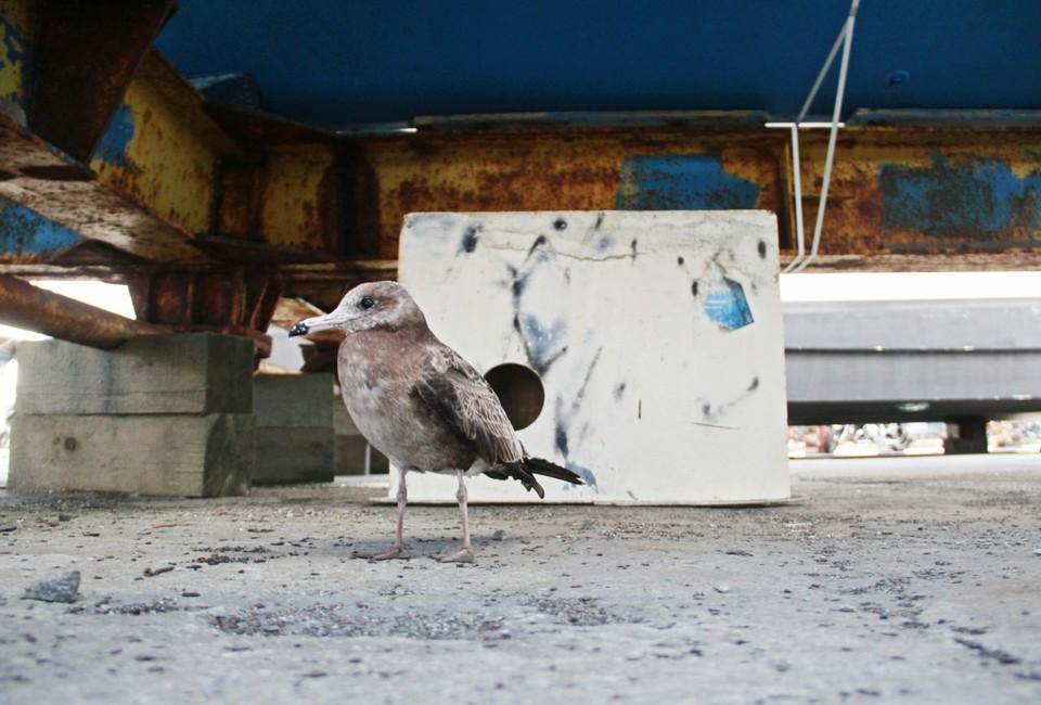 Чайка Маша поселилась возле на пирсе яхт-клуба «7 футов» с октября
