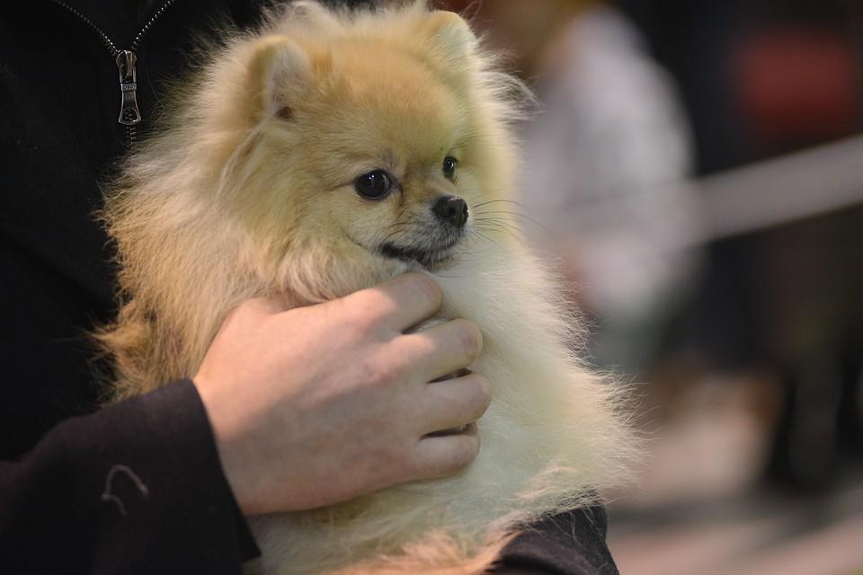 Россияне предпочли шпицев другим породам собак.