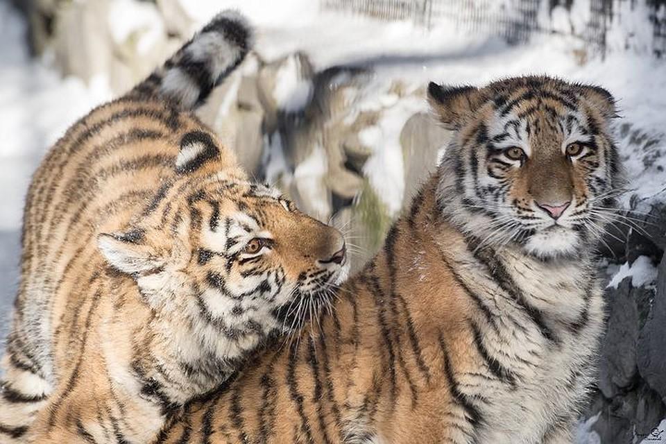 Тигрята показывают хорошие результаты реабилитации. Фото: Андрей ПОЛЯКОВ