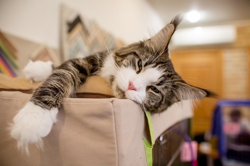 Россияне предпочли священную бирму другим породам кошек.