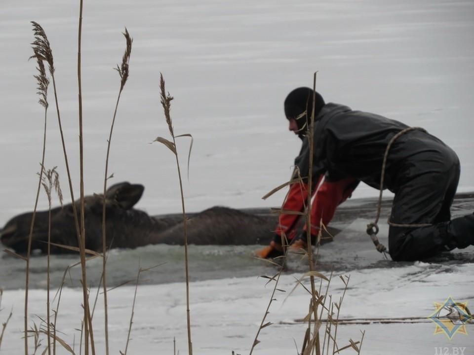 Лось попал в ледяной плен. Фото: mchs.gov.by