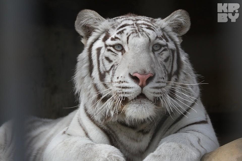 Бенгальский тигр - редкий подвид, включенный в международную Красную книгу.