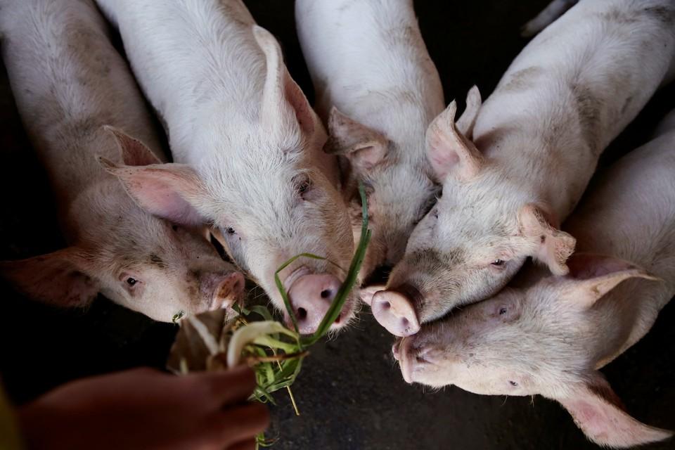 Мера обусловлена недопущением распространения свиной холеры